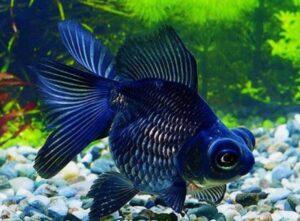 Аквариумная рыбка Телескоп: как кормить?